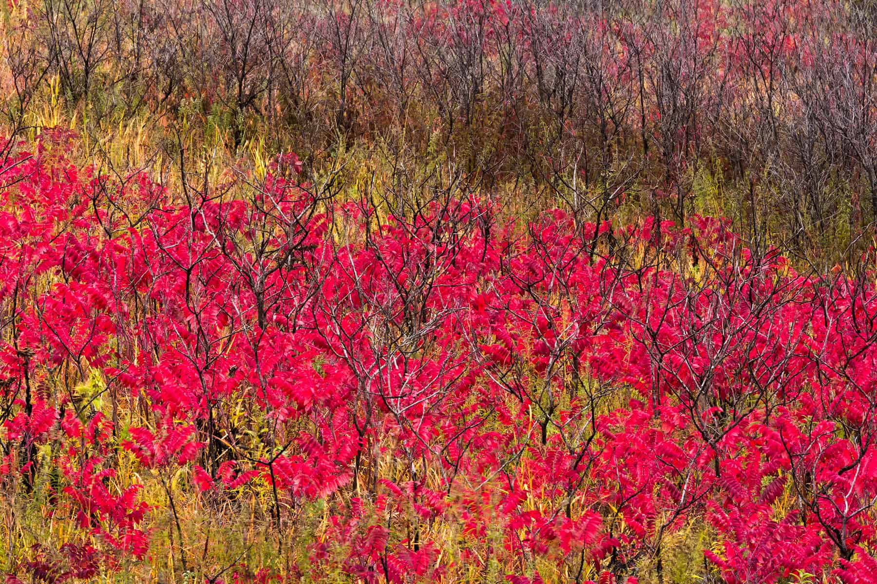 Flames Of The Sumac - FLFA_8492