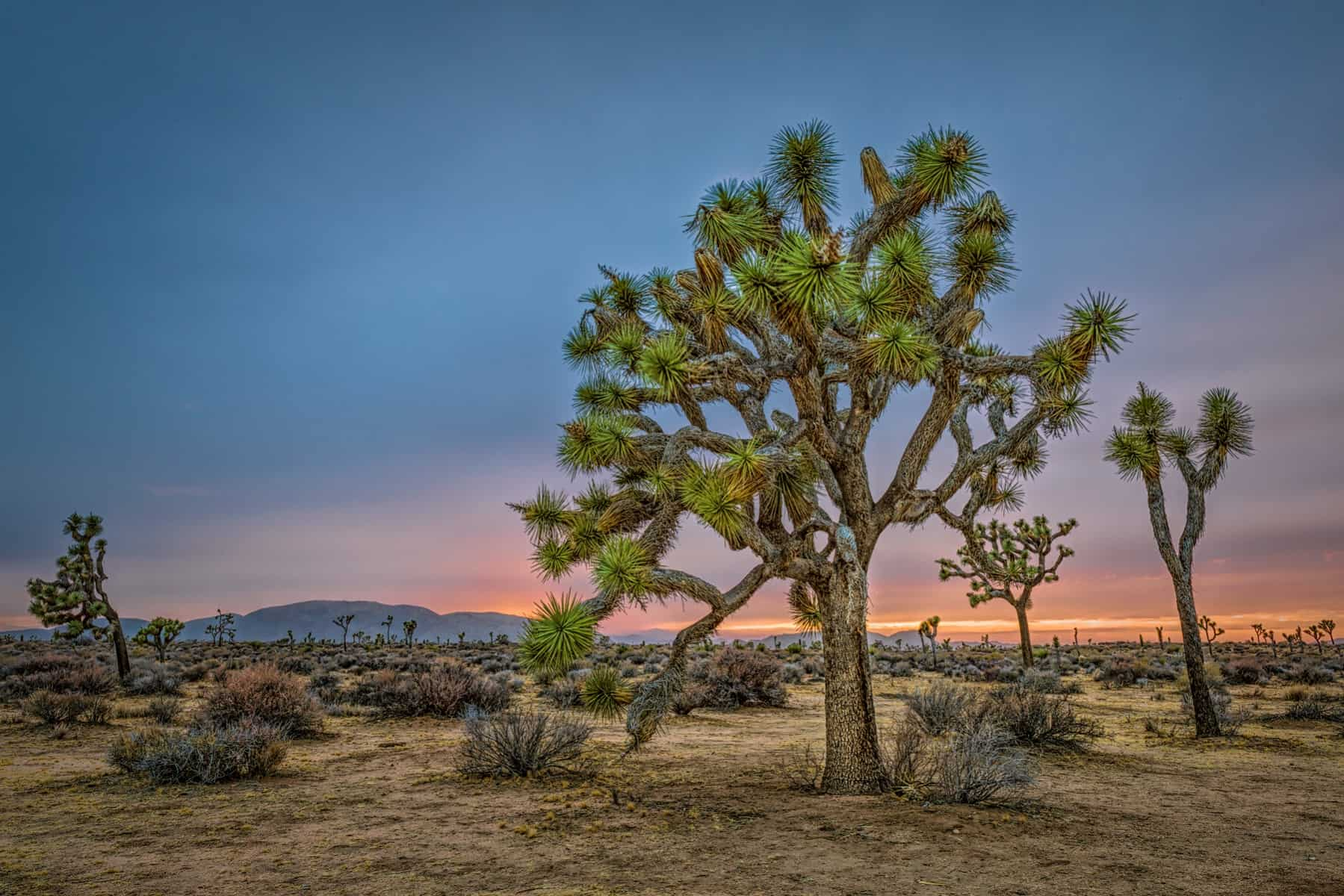 The Joshua Trees - JTNP_9413