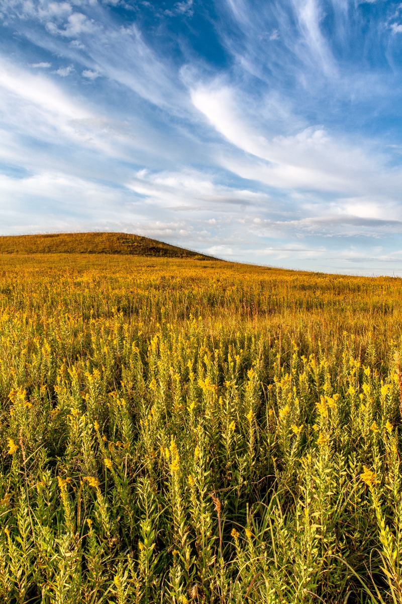 Whispering Goldenrod - FHFA_0570