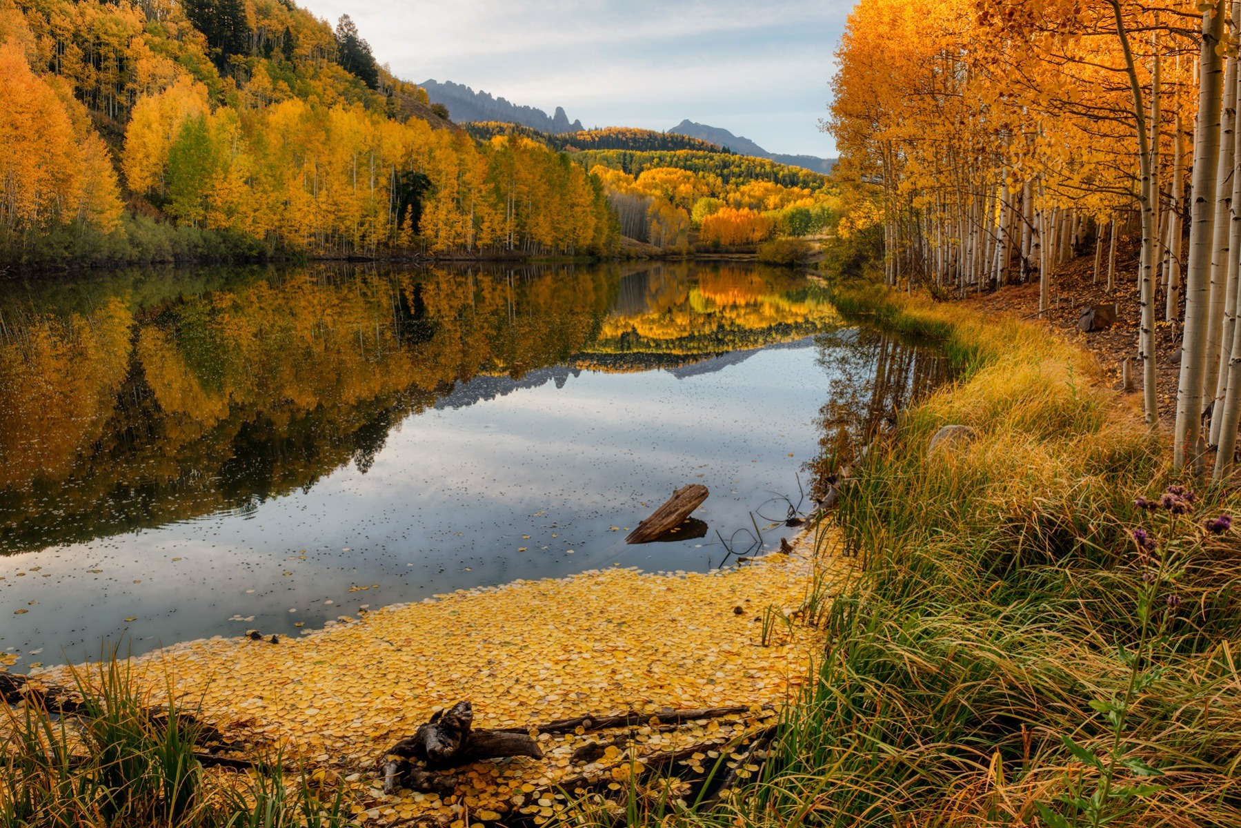 Morning Gold - CO_26704
