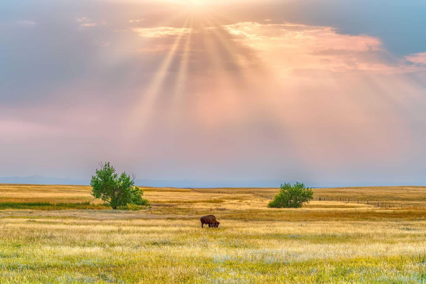 Bison South Dakota prints